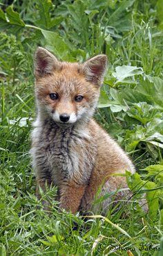 Young fox... by Silvano Fabris, via 500px