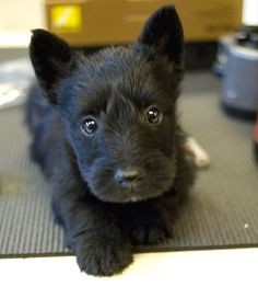 Too cute!  This is why I love scotty puppies.  Everyone I see, I want...