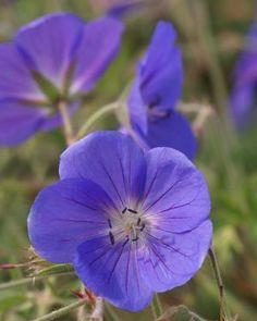 'Brookside' Hardy Geraniums