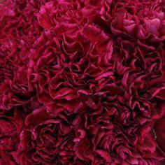 Deep Velvet Carnation Magenta Nobbio