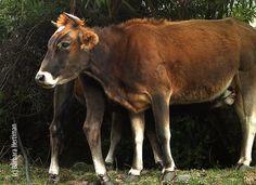 Merida, Cow, Animals, Animales, Animaux, Animal, Animais