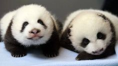 Zoo Atlanta twin pandas