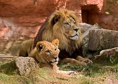 Leijona, Wildlife, Petoeläin, Eläintarha