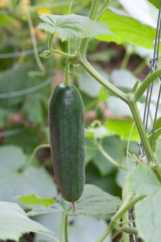 Learn expert tips for growing cucumbers in your vegetable garden. Cucumber is a relatively easy plant to grow and really easy to eat! Cucumber Plant, Cucumber Seeds, How To Plant Cucumbers, Lemon Cucumbers, Growing Veggies, Planting Vegetables, Vegetable Gardening, Growing Plants, Organic Gardening