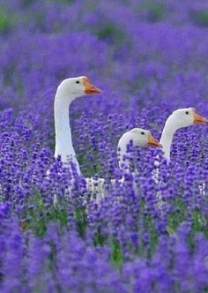 Geese in the lavender field.