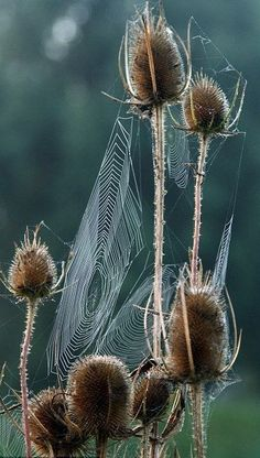 Cobweb on seed pods All Nature, Amazing Nature, Autumn Nature, Spider Art, Spider Webs, Foto Macro, Seed Pods, Natural World, Nature Photography