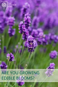 Edible flowers can make your summer salads even more delightful!  Why not use Lavender to flavoured sugar and honey can be used in cakes, biscuits whilst sprigs compliment roast pork, lamb or chicken.