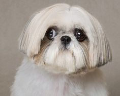 I love the look on this shih tzu's face! Adorable!