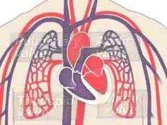 Circulatory system animation - YouTube