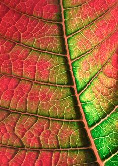 Poinsettia Leaf, Macro