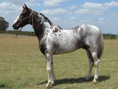 What color is this horse? Roan + pinto + appaloosa? Pintaloosa?