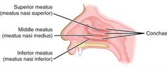 spina scapulae - Google Search | Anatomi | Pinterest ...Inferior Meatus