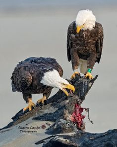 The steal.Wild Bald Eagle pair with her stealing the remains of his breakfast along the seashore in the Pacific Northwest US… Golden Eagle, Vertebrates, Birds Of Prey, Wild Birds, Animals And Pets, Bald Eagles, Pacific Northwest, Breakfast, Colourful Birds