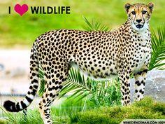 I Love Wildlife   WebScienceMan