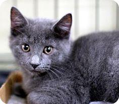 New York, NY - Domestic Shorthair. Meet Marco, a kitten for adoption. http://www.adoptapet.com/pet/17376416-new-york-new-york-kitten