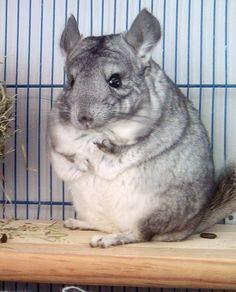 Ripitchip, my chinchilla :)
