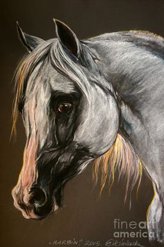 The Grey Arabian Horse Drawing