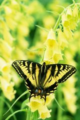 What You Didn't Know About Butterfly Gardening: Eastern Tiger Swallowtail on Snapdragons