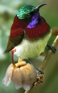 he Crimson-backed Sunbird or Small Sunbird (Leptocoma minima) is a sunbird endemic to the Western Ghats of India.