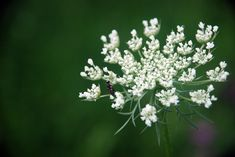 The Queen Anne's lace plant is a native wildflower herb. While in most places, the plant is considered an invasive weed, it can actually be an attractive addition to the garden. Find out more in this article.
