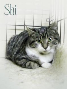 SHI is a Domestic Shorthair in need of rescue or adoption at the Pocahontas County Animal Shelter, in Marlinton, WV. Adoption fee is HALF-PRICE!    If you can help Shi, email: asapwva@gmail.com