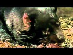 Honey Badger Narrates: Satan's Best Friend-The Tazzy Devils