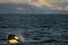 Greenlandic killer whale