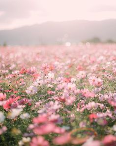 Fields of dreams pink aesthetic, flower aesthetic, nature pictures flowers, beautiful pictures Nature Pictures Flowers, Flowers Nature, Pink Flowers, Beautiful Flowers, Field Of Flowers, Glitter Flowers, Paper Flowers, Beautiful Pictures, Spring Aesthetic