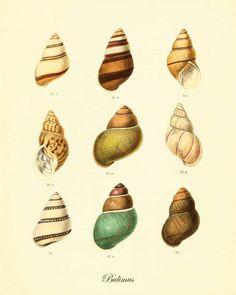Shell Vintage prints old prints Ocean Decor ocean life Natural History sea life…