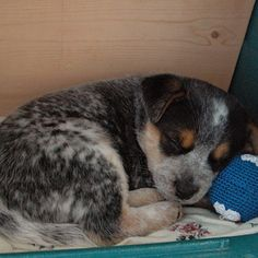 Cattle Dog! Puppy Dogs multicityworldtravel.com We cover the world over 220 countries, 26 languages and 120 currencies Hotel and Flight deals.guarantee the best price