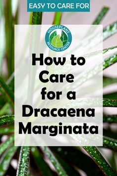 If you have a Dracaena Marginata you may want to know how best to care for it. Learn the best light and watering tips for your Dracaena Marginata and how best to troubleshoot any plant issues you have. Claire Akin from The Houseplant Resource Center. House Plant Care, House Plants, Types Of Houseplants, Fiddle Leaf Fig Tree, Claire, How To Find Out, Good Things, Learning