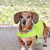 Delaware Ohio Dachshund Meet Bo A For Adoption Https Www