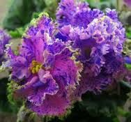 Image result for african violet Buckeye Spell Charm