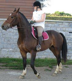cheval franche-montagne   Cheval Franches-Montagnes