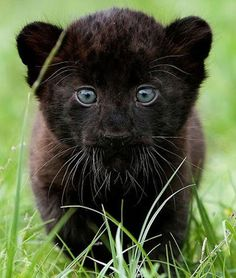 "x-enial: "" Black Panther cub "" Panther Cub, Baby Panther, Cute Baby Animals, Animals And Pets, Funny Animals, Animal Memes, Beautiful Cats, Animals Beautiful, Gato Grande"