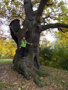350 Years Old Oak three/2011