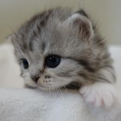 Adorable Kitten by (@matatabi_neko_house) on Instagram