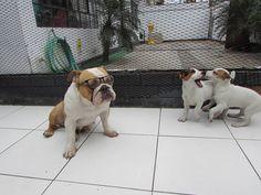 Bulldog ingles y Jack russell