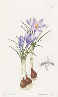 Crocus michelsonii CTL606 $29 – William Curtis Botanical Prints from Curtis Botanical Magazine 1948 and After