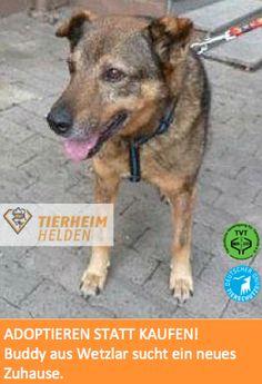 Buddy ist alt und kann nicht mal mehr gut Gassi gehen. Bitte ermöglicht ihm einen schönen Lebensabend!  http://www.tierheimhelden.de/hund/tierheim-wetzlar/deutscher_schaeferhund_mix/buddy/626-0/