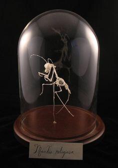 rx online Judith G. squelette de mante religieuse Judith G. skeleton of praying mantis Terrarium Diy, Terrariums, Animal Skeletons, Cabinet Of Curiosities, The Bell Jar, Bell Jars, Curiosity Shop, Praying Mantis, Skull And Bones