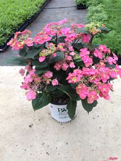 Proven Winners - Tuff Stuff™ Red - Mountain Hydrangea - Hydrangea serrata green pink red plant details, information and resources. Red Hydrangea, Hydrangea Paniculata, Hydrangeas, Dwarf Plants, Red Plants, Red Flowers, Colorful Flowers, Hydrangea Varieties
