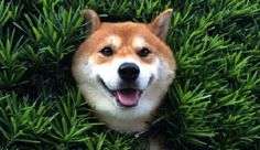 Shiba Inu Stuck In Bush: Japanese Dog Stuck Doesn't Have A Care In The World