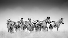 A dazzle (just love those collective nouns...) of zebra on the plains of Masai Mara.... Dazzle by Johan Siggesson