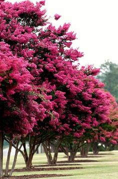 Plant 5-6 young crepe myrtles along the fence line. Mature into beautiful trees!