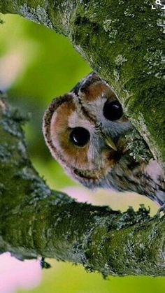 Peek-a-boo! Cute little owl peeking through a fork in the tree branch. Beautiful Owl, Animals Beautiful, Beautiful Pictures, Owl Bird, Pet Birds, Strix Aluco, Animals And Pets, Cute Animals, Baby Animals