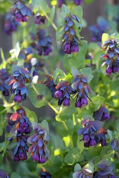 Cerinthe major purpu