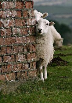 Shy Irish sheep