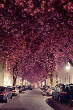 For two to three weeks each spring, the magical tunnel created by the trees lining Cherry Blossom Avenue in Bonn, Germany, brings in tourists and photographers alike   archdigest.com