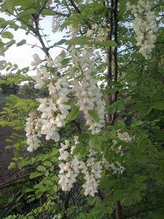 Fehér akácvirág